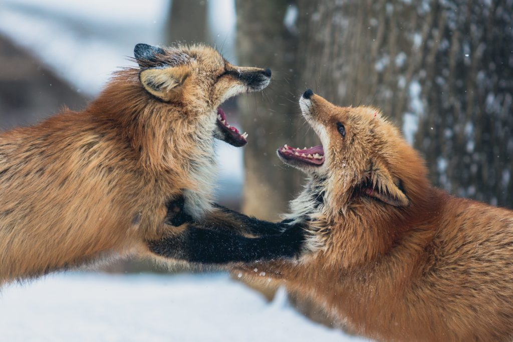Foxes in Conflict